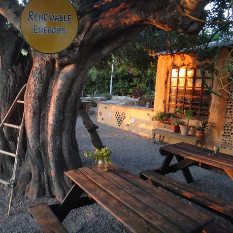 Our beautiful carob tree