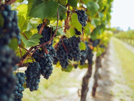 Vegea: il tessuto sostenibile ottenuto dagli scarti del vino