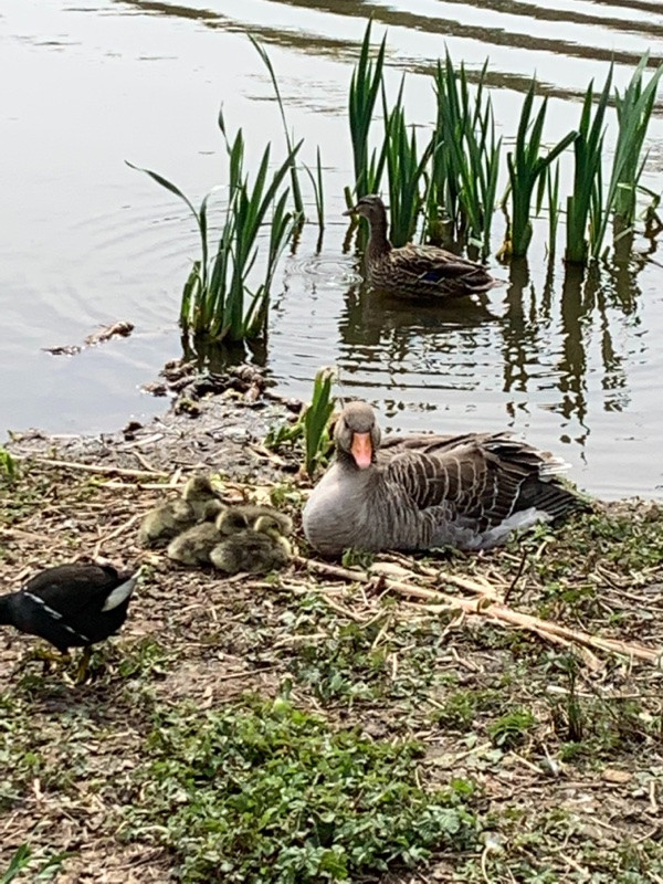 Geese and nest