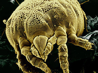 Are you swallowing dust mite faeces?