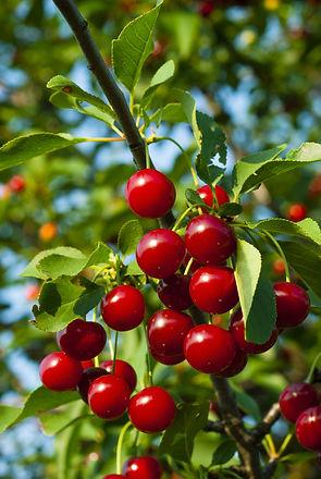 sour cherry fruits hanging on branch.jpg