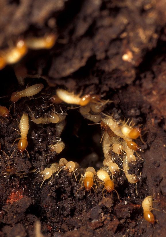 10852-formosan-subterranean-termites-in-