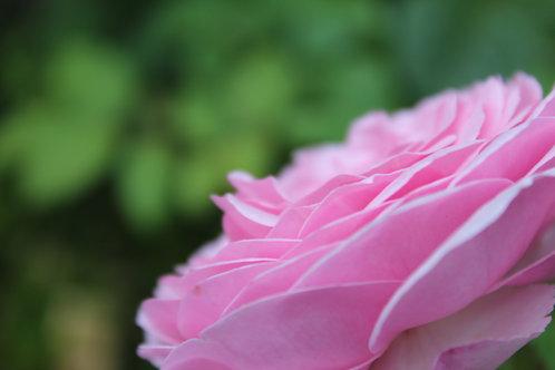 Pink Rose - Hayley Fuller