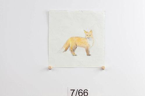 Fox - Morgan Wery