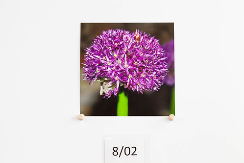 Allium - Sophia Elswood