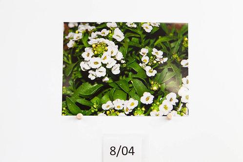 Pretty White Flowers - Sophia Elswood