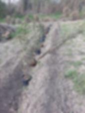 Plantationshaie1.jpg