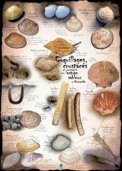 Coquillages & crustacés sur l'estran sableux