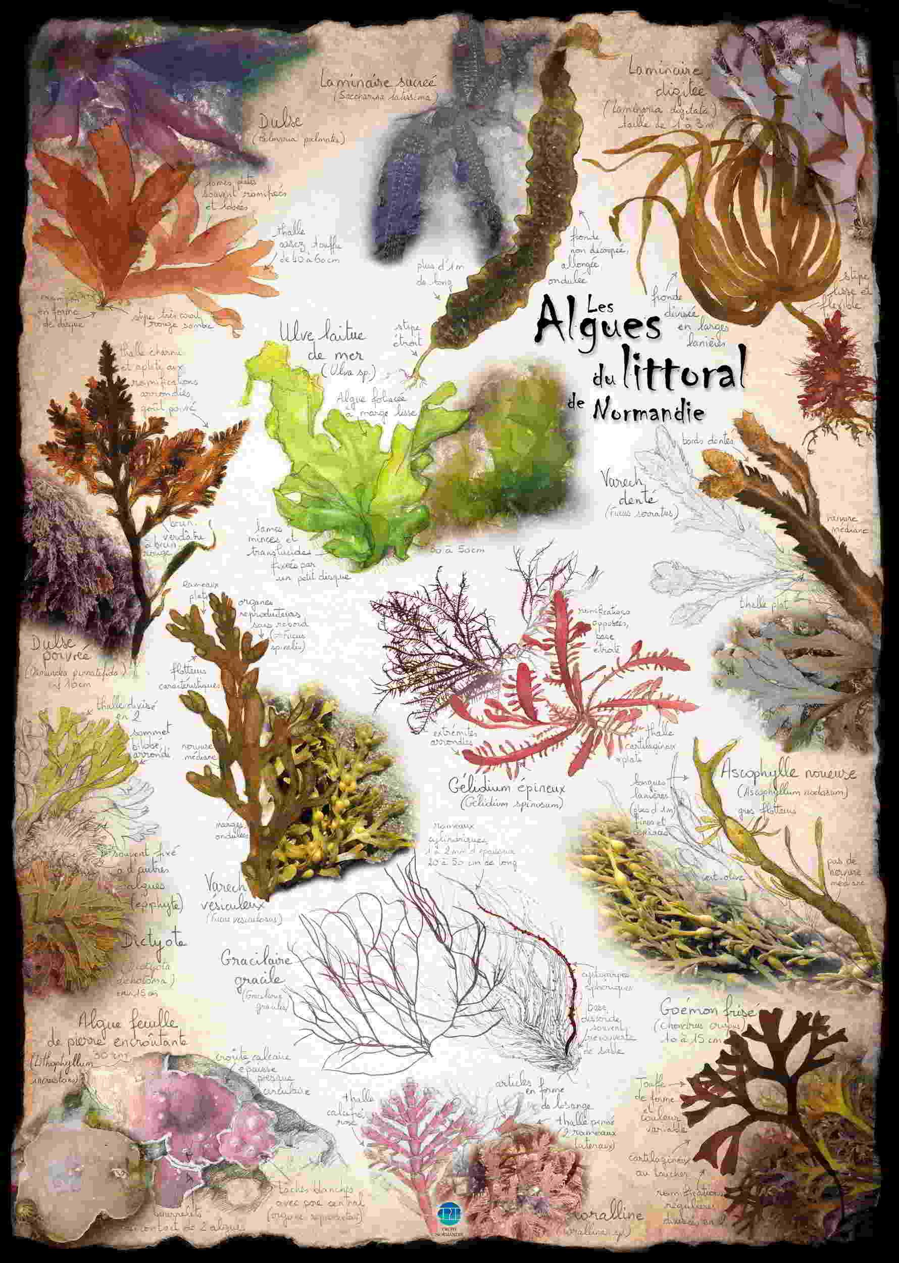 Algues du littoral normand