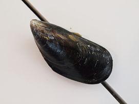 Moule de la Côte de Nacre, dans le Calvados