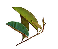 Chrysophyllum Cainito Blatt