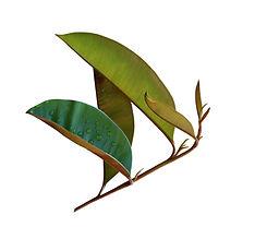 Chrysophyllum Cainito Leaf