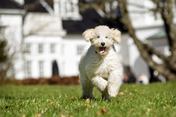 photodune-16878425-labradoodle-dog-outdoors-in-nature-s
