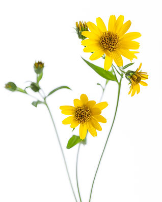 Arnica (Arnica montana) - flowers isolated on white background.jpg