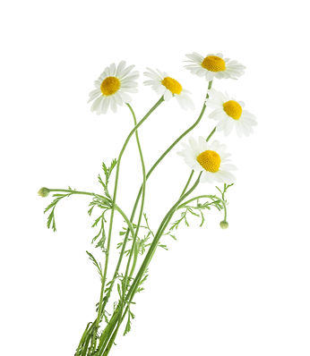 Chamomiles isolated on white background. without shadow.jpg