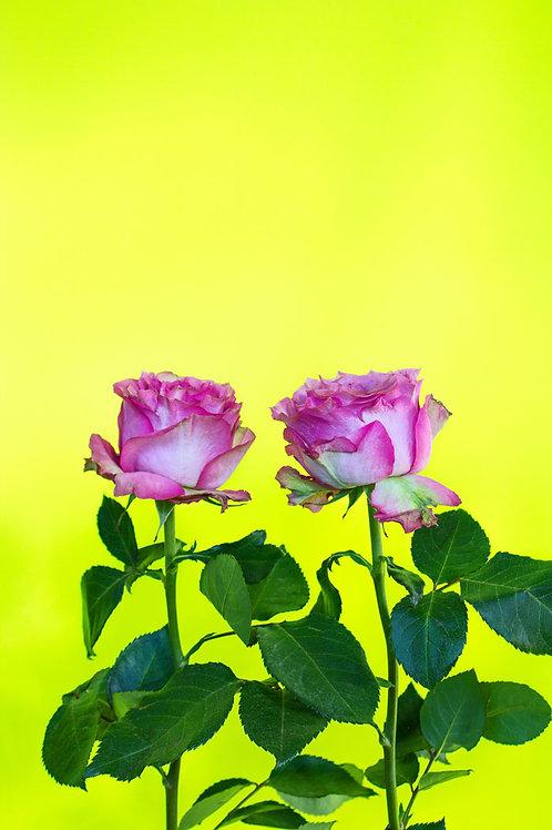 Deux roses - NATALIA ZAVIALOVA