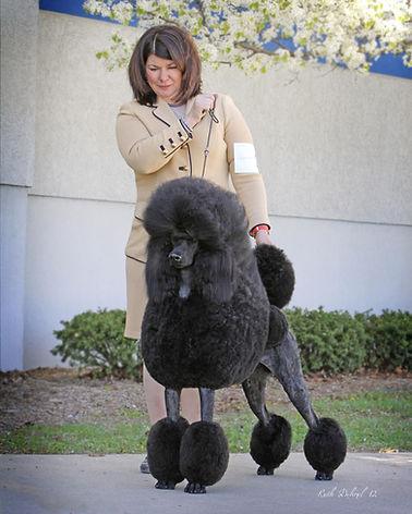 Targa Standard poodle black