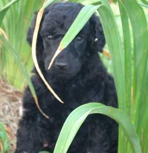 Targa Standard Poodle Puppy