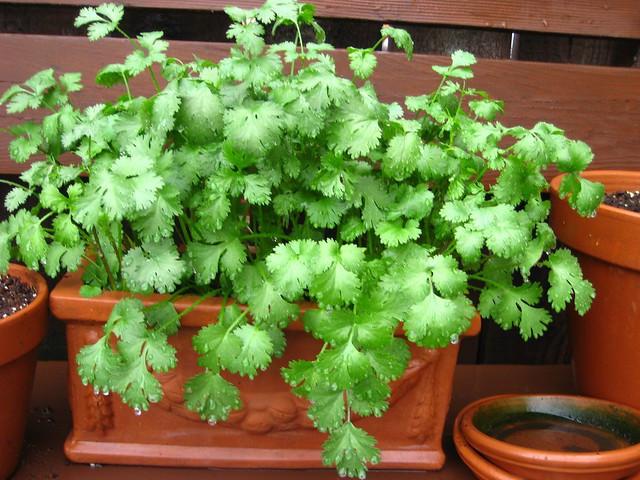 Fotografía de cilantro fresco en una maceta.