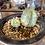 Thumbnail: ユーフォルビア メロフォルミス錦 蘭鉢付