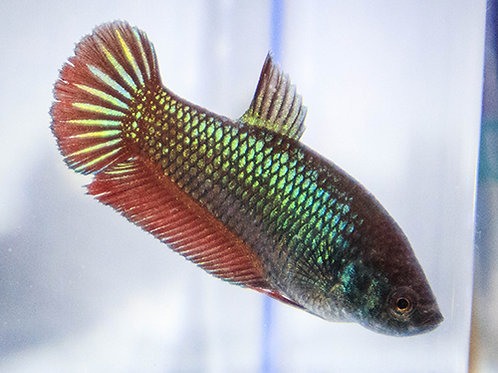 Metallic Aqua Female Plakat