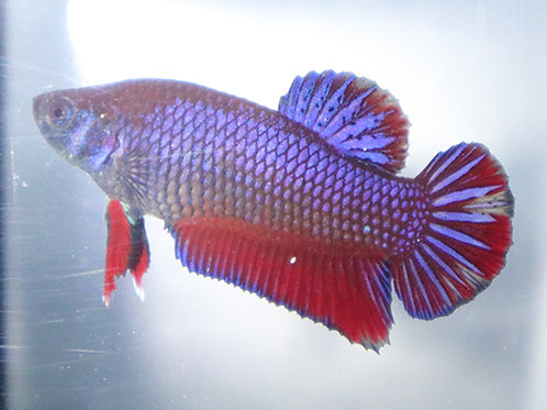 Metallic Purple Male Plakat