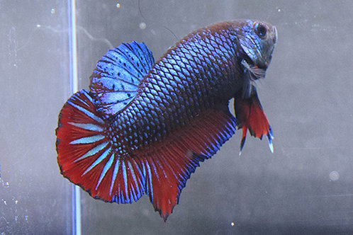 Diamond Eye Metallic Plakat Male