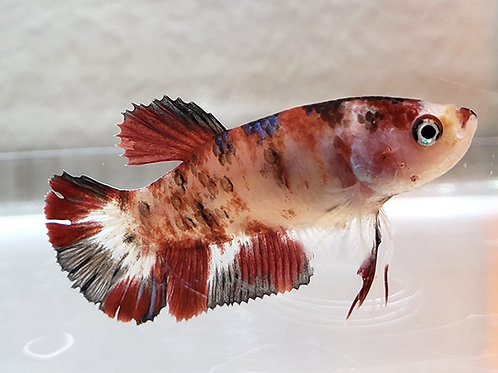 2017 Spawn Koi Female