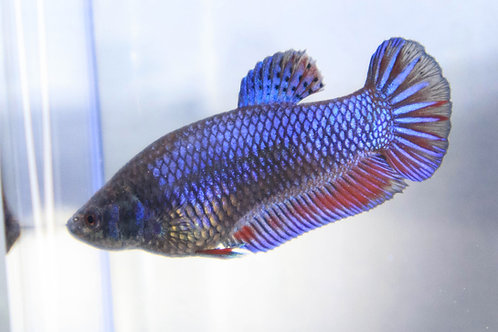 Metallic Purple Lace Female Plakat