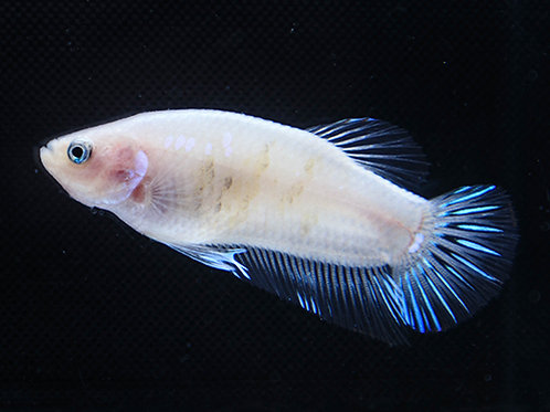 Iridescent Cellophane Male Plakat