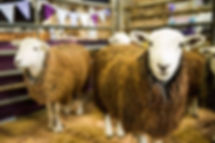 Woolfest sheeps 2020.jpg