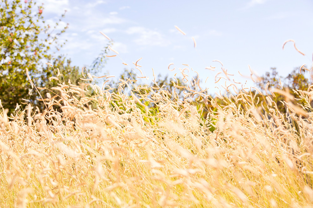 golden fields