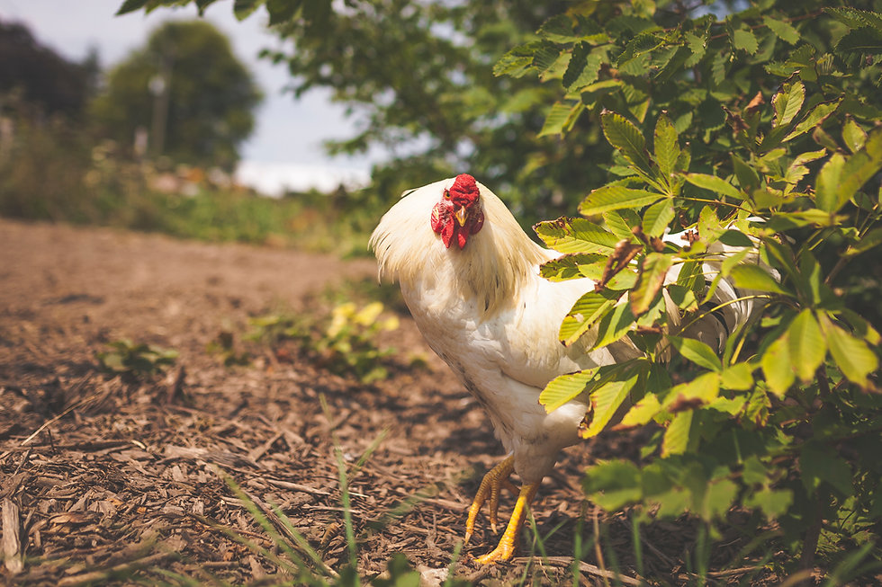 Photo of chicken taken at Coyote Hollow Farms by Alex Browne