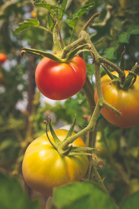 tomatoes photo by Alex Browne