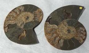 ammonites, cut in half, polished. both h