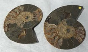 ammonites, cut in half, polished. both h