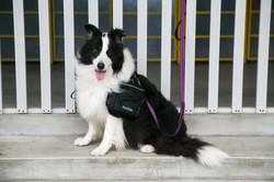 Shock Absorbing Reflective Neoprene Padded Dog Running Leash Manufacturer - on dog
