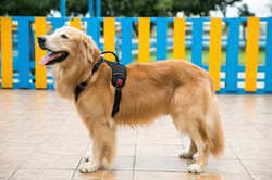 Heavy Duty Patented Metal Buckle Dog Harness Manufacturer - on dog