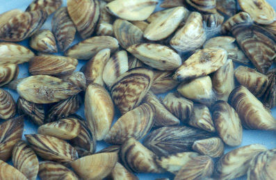 Zebra Mussels: The Invaders of the Great Lakes