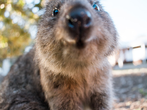 Essential Guide to Rottnest Island (including Quokkas!)