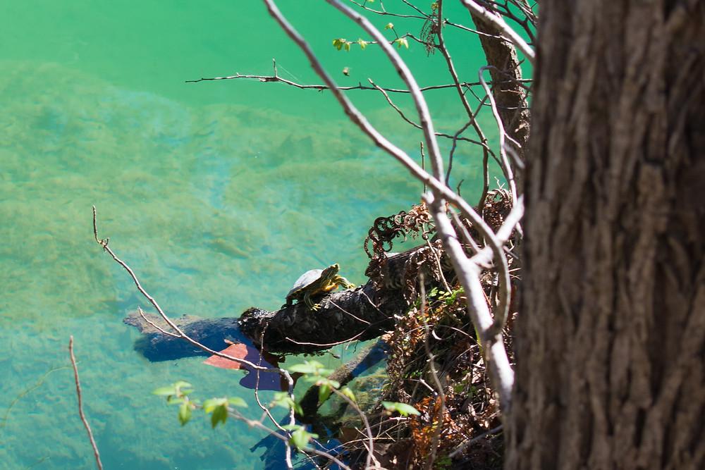 Turtle and snake sunbathing at Hamilton Pool Preserve near Austin, Texas