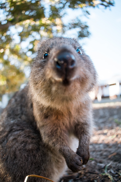 A cutie quokka curiously sniffing the camera on Rottnest Island