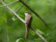 5 Black-billed Cuckoo - Thornwood Nature