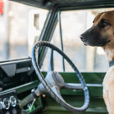 Dave the dog in vintage four wheel drive