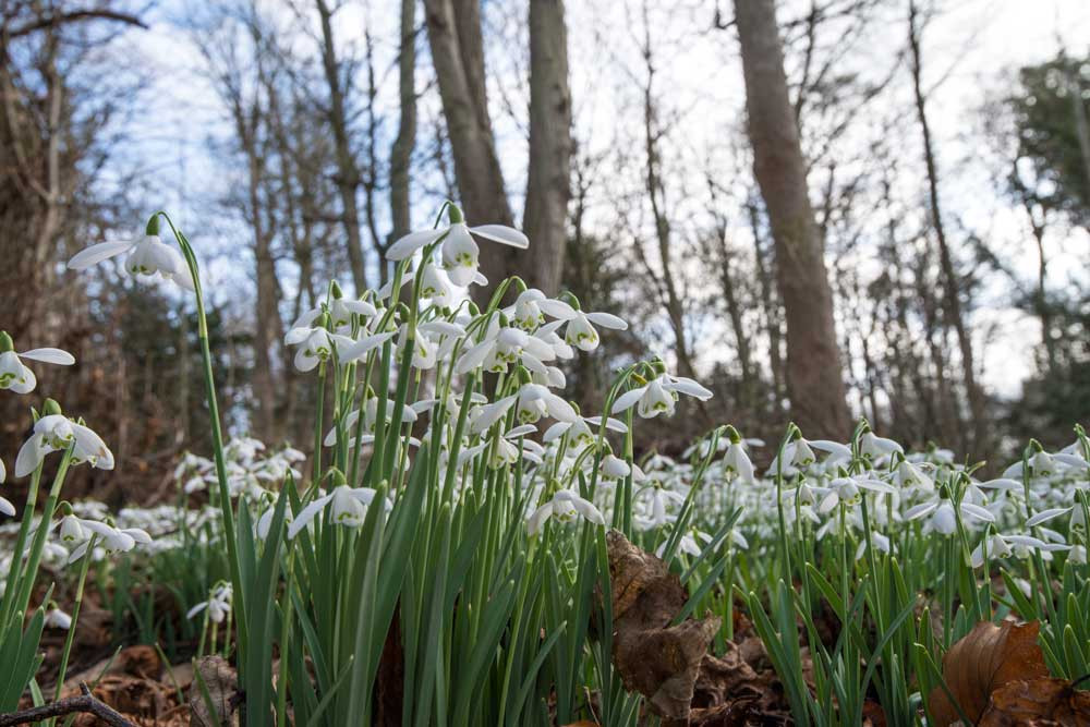 Snowdrops at Floors Castle 2017 by Richard Aspinall, www.aspinallink.co.uk