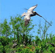 Brown-Pelican-with-nesting-material.jpg