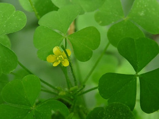Wood Sorrel, Yellow Jasmine, and Barred Owl