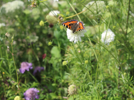 What flowers to grow to attract bees and butterflies?