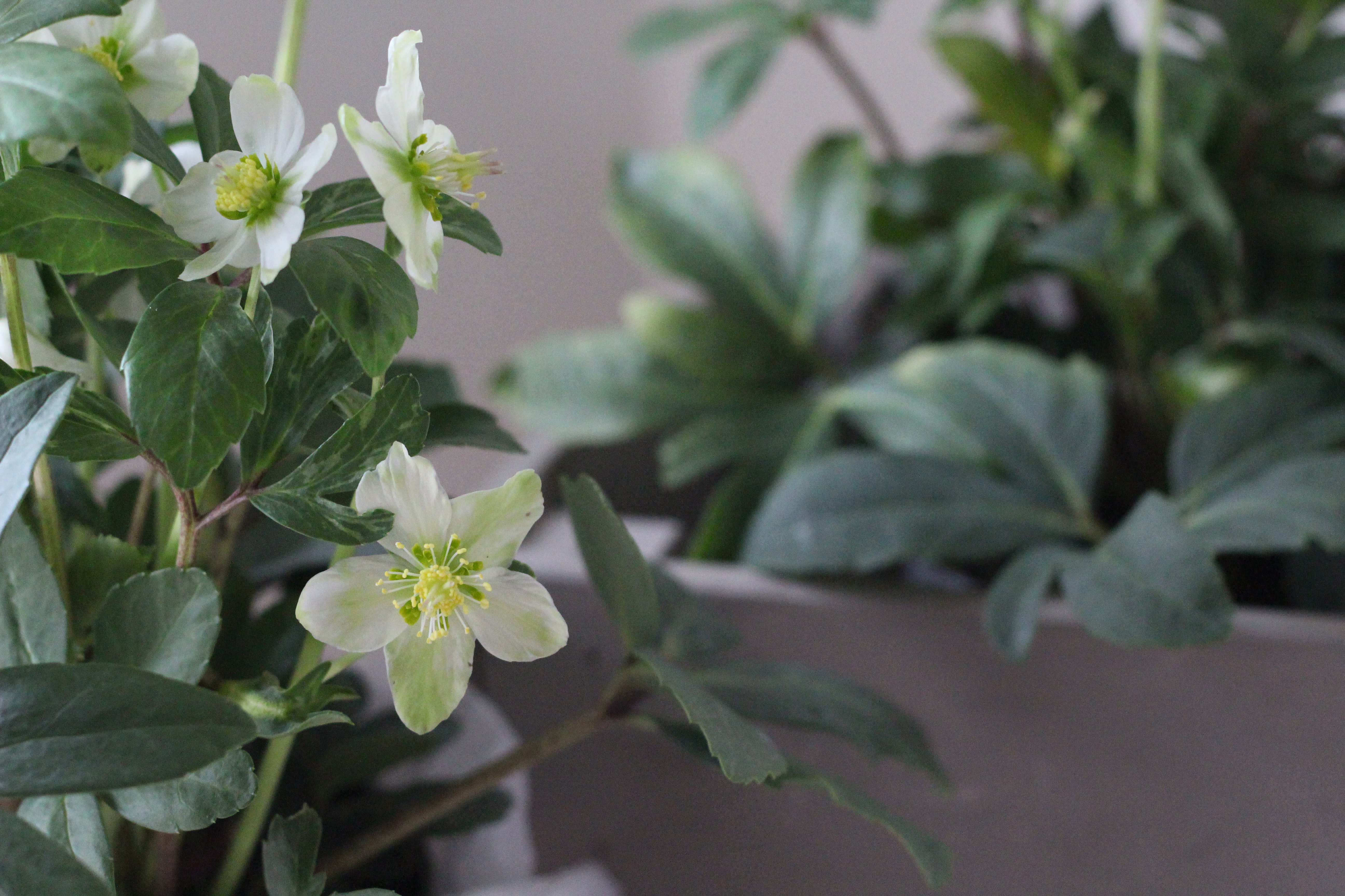 The Best Way To Care For Hellebores Indoors