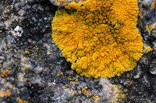Lichen sur rocher breton